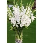White Gladiolus(12pcs) in a vase